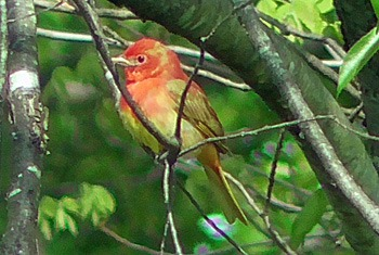 First year Summer Tanager