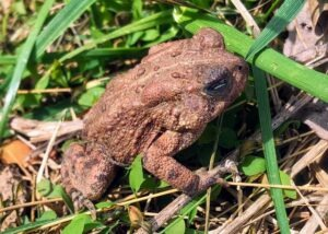 Young toad at Blue Ridge Center