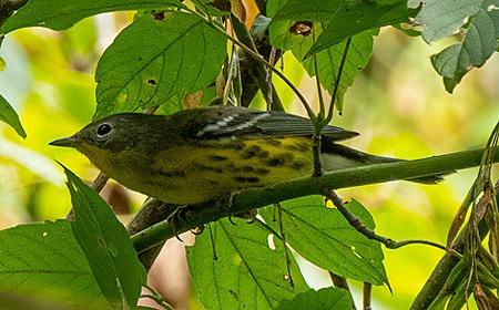 Magnolia Warbler on branch